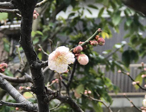 庭の風景〜梅