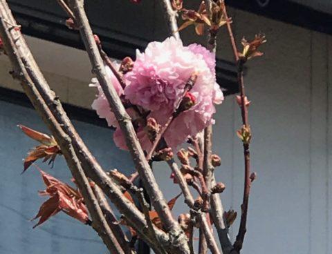 庭の風景〜八重桜