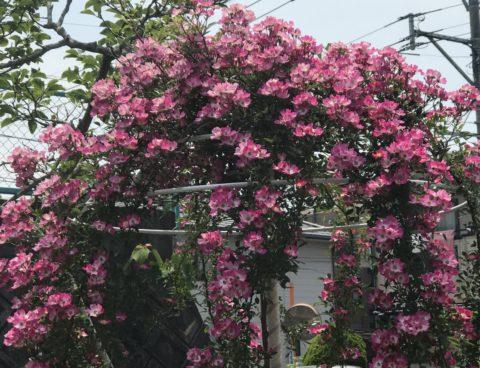 庭の風景〜オールドローズ
