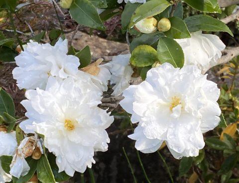 庭の風景〜山茶花 トキワマンサク